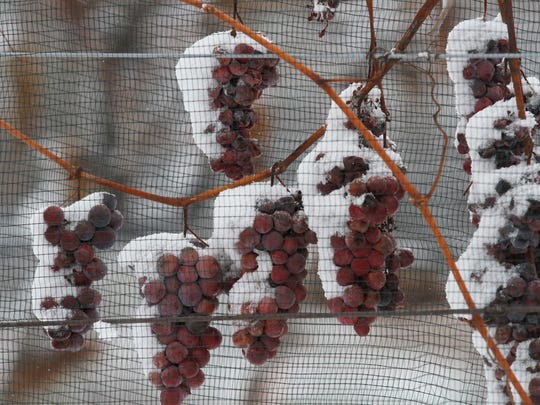 Grapes are kept on the vine until temperatures hit a certain degree before they are harvested.