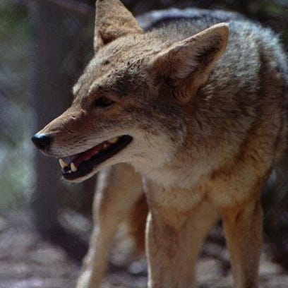 The coyote's menu ranges from rabbits, rats and other