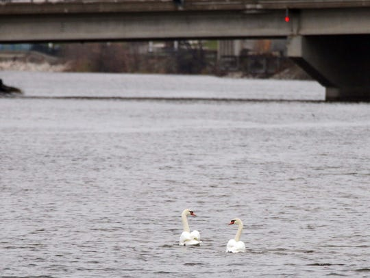 A pair of swans swim the Sheboygan River Tuesday November
