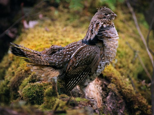 Roadside surveys to monitor the number of breeding grouse have been conducted since 1964 by the DNR, U.S. Forest Service, tribal employees and grouse enthusiasts and volunteers.