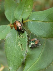 Japanese beetles, which usually appear in mid-June,