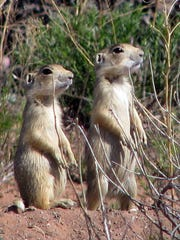 Prairie dogs, which inhabit increasingly fewer pockets of grasslands west of the Missouri River, are threatened by a plague that has been spreading in South Dakota. It now reaches the Fort Pierre Grassland.