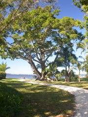 The ficus tree in Snell Park in Fort Myers has an 8,000-square-foot