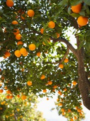 Be aware of the weather forecast so citrus trees can be covered in time to protect them from frost.