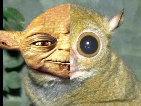 Separated at birth? Tarsiers may have been the inspiration