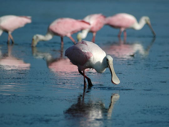 Roseate spoonbills search for breakfast in the shallow