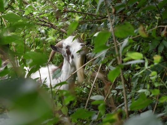 635744702309286793-goat