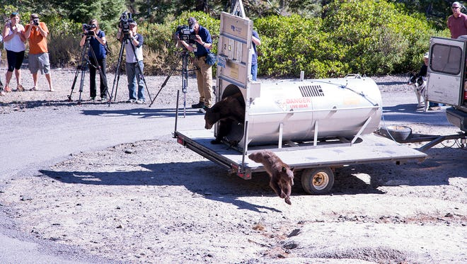 Reno news crews watch in the mountains above Lake Tahoe on Wednesday, Sept. 2, 2015, as Nevada Department of Wildlife officials release a mother bear and cub trapped the day before on the lake's north shore near Crystal Bay, Nev. The vast majority of problem bears trapped at Tahoe are returned to the wild, but repeat offenders are euthanized when they lose their fear of humans. (Jack Kreamer, Nevada Department of Wildlife)