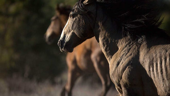 A wild horse runs on U.S. Forest Service land near the Mogollon Rim in Arizona. Wildfire and drought have put the horses in competition with livestock and other wildlife in the region.