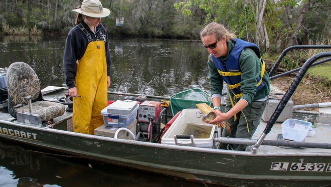 Florida Fish and Wildlife Conservation Commission Fisheries Biologist Amanda Mattair shows a spotted sucker she and fellow biologist Kate Harriger, left, caught on the Blackwater River at Carpenter's Park in Milton on Tuesday, March 27, 2018. The team uses electrofishing to stun fish of all sizes that are near the boat to make it easier to catch them so they can be identified, measured, and weighed on the boat, and then released back into the water. This gives a narrow overview of the different species and population of fish in local lakes and rivers, and can be helpful in determining if a more specialized study is needed.
