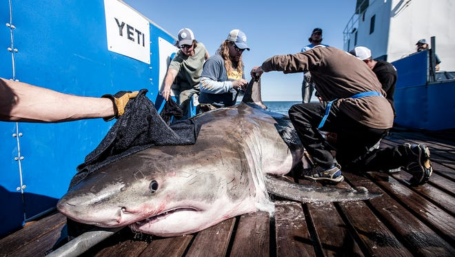 """Hilton the white shark is photographed during a """"Lowcountry Expedition"""" off the coast of South Carolina in March 2017."""