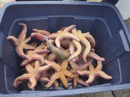 Dozens of sea stars pulled from underneath the Waterfront