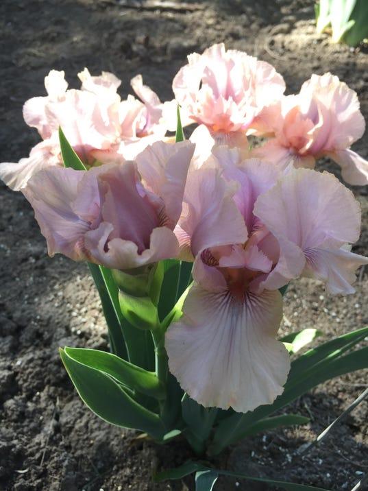 pink FAL 0605 Iris garden
