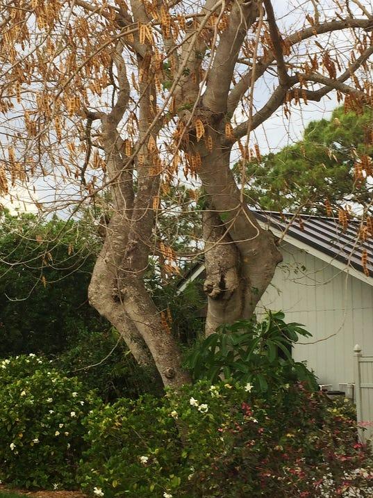 Albizia-lebbeck-tree-Reader-Supp-May-13--yard-doc.JPG