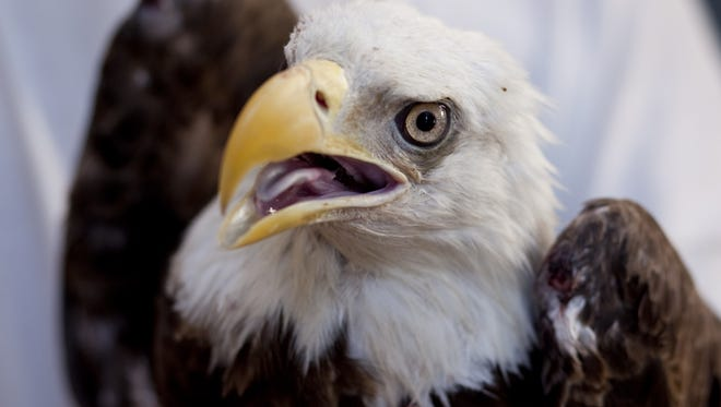 A 7-year-old male bald eagle before its re-release into the wild.