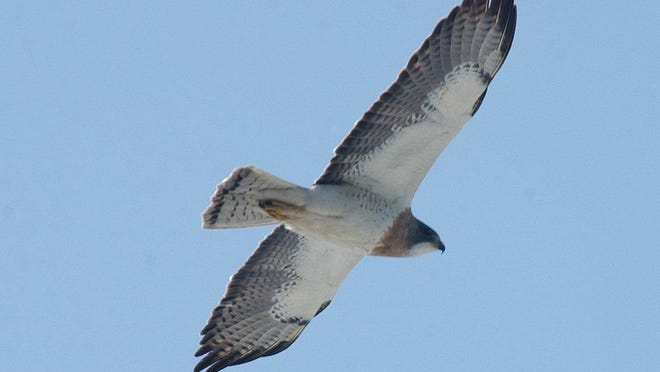 A Swainson's hawk patrols the sky along River Road north of the First Avenue North Bridge.