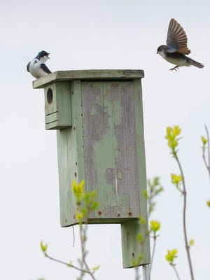 A pair of tree swallows appear to be picking out a suitable place to nest on a bird house along Center Road in northwestern Fond du Lac County.
