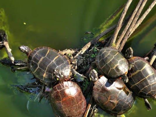 636361529916702347-Turtles-Woodland-Dunes.jpg