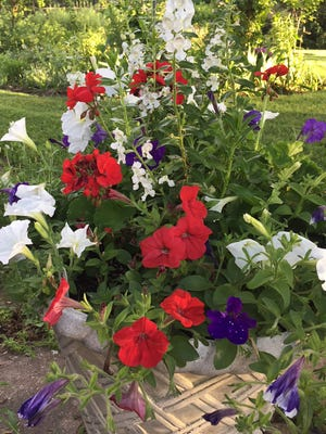 Angle Face white angelonia, red geraniums, Easy Wave Red and White petunias and Night Sky blue petunias celebrate the Fourth of July in a south side Indianapolis garden.