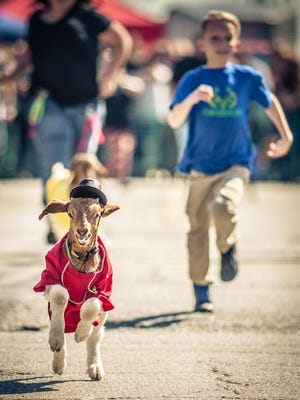 A goat gallops his way to victory at the 2016 Nulu Bock Festival.