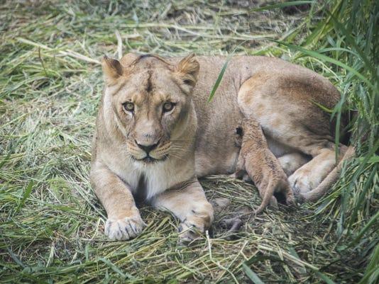 Litter of Lions