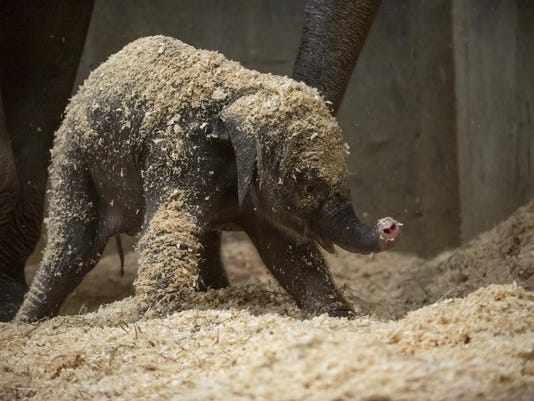 Elephant Birth-Zoo