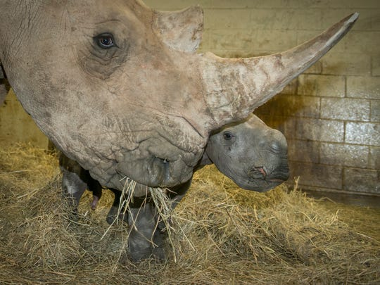 Rhino (White) Calf 3696 - Grahm S. Jones, Columbus Zoo and Aquarium.jpg