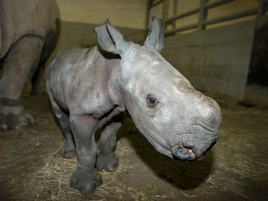 Rhino (White) Calf 3749 - Grahm S. Jones, Columbus Zoo and Aquarium.jpg