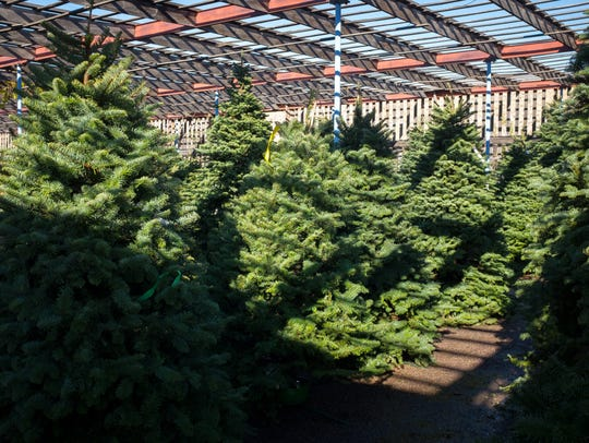 Some of the 350 Noble Firs available for purchase at
