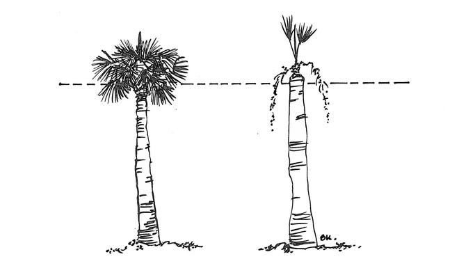 An illustration shows a properly trimmed palm tree (left). Removing too much (right) green growth weakens the core and exposes it to damage from winds and pests.