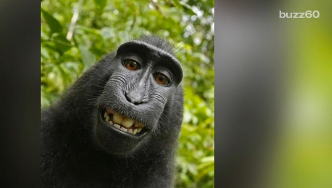 A federal judge ruled Wednesday that a macaque monkey, that took a series of internet-famous selfies, cannot own the images' copyright.