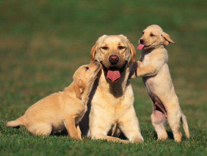 American Kennel Club Dog Breeds Az