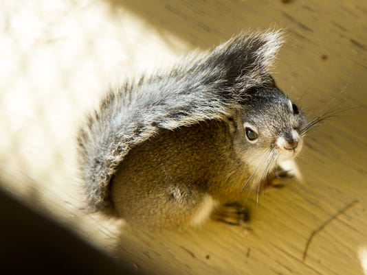 PNI phx Phoenix Zoo endangered squirrel breeding 1