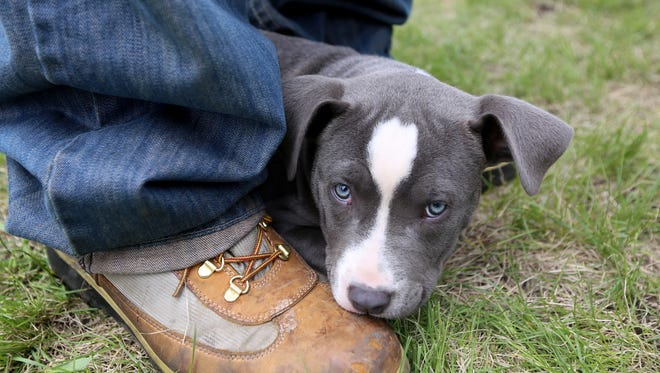 Brie, a Pitbull puppy, sits between her owners legs at the Detroit Dog Park in Detroit on Saturday, May 17, 2014.