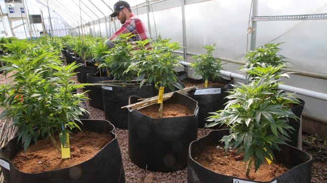 A worker cultivates a special strain of medical marijuana known as Charlotte's Web inside a greenhouse on Feb. 7, 2014,  in a remote spot in the mountains west of Colorado Springs.