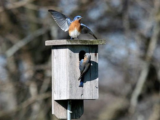 Male and female bluebird at nest box; male demonstrating courtship display.