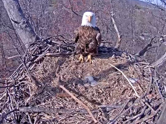 For the second time in three years, the bald eagles nest near Codorus State Park will not have a fledgling.