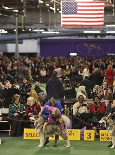 The Westminster Kennel Club dog show is happening right