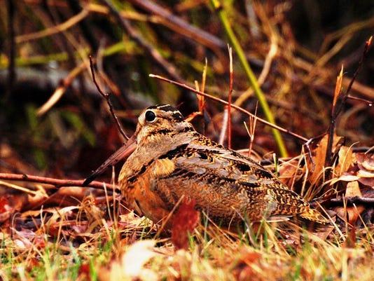 dcn 0427 ridges American Woodcock