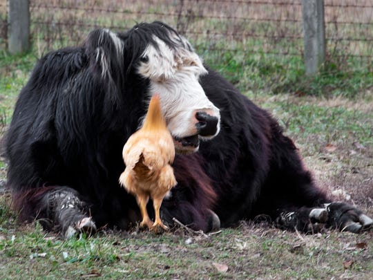 A chicken leaps to catch a fly landing on a cow in a symbiotic relationship where free-range chickens control pests at the farm.