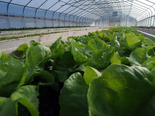 Lettuce grows in a green house at Fishkill Farms.