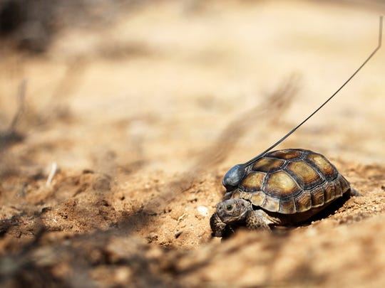 A desert tortoise, hatched nine years ago at the combat