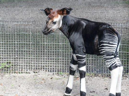 Okapi Born At Lowry Park Zoo