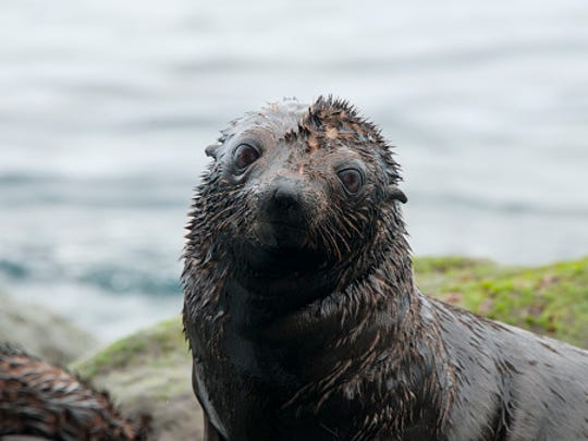Guadalupe fur seal pup on rocks looking at camera,