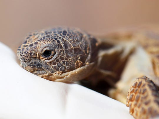 A plan to relocate desert tortoises, like this 3-year-old