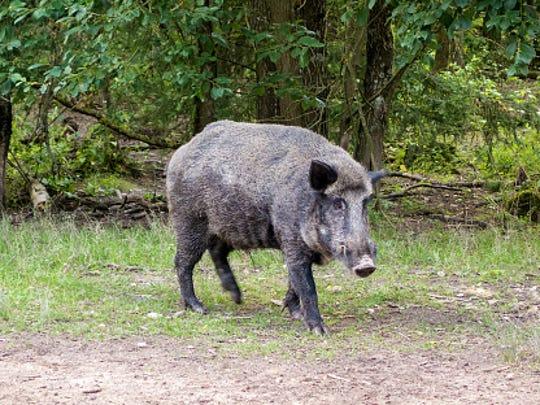 A feral pig.