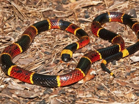 The southern part of New Mexico is home to the deadly coral snake.
