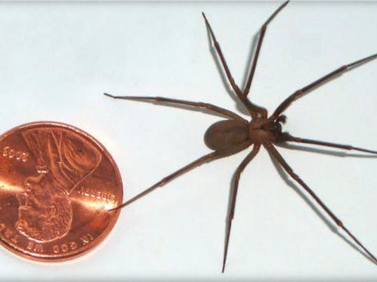 Brown recluse spiders are smaller than a U.S. quarter. The abdomen and legs are the same tan to brown color, and there are no stripes or dots.