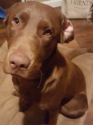 Taz was apparently abused after the Labrador retriever escaped his fence in Metal Township on July 2, 2018.