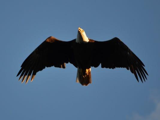 636174476057303785-LDN-DW-121816-bald-eagle.jpg
